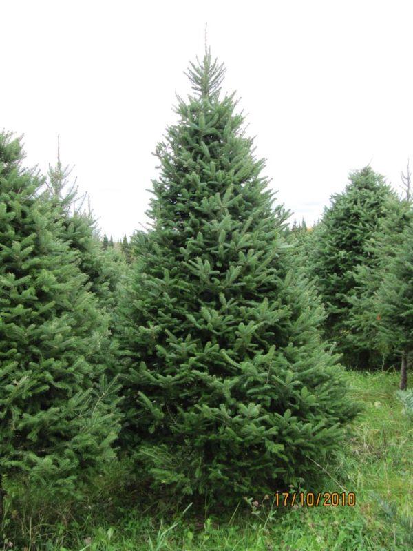 Thick Christmas Tree