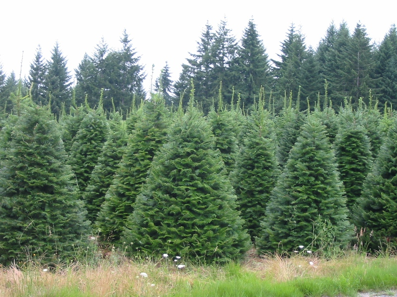 Big John's Christmas Trees