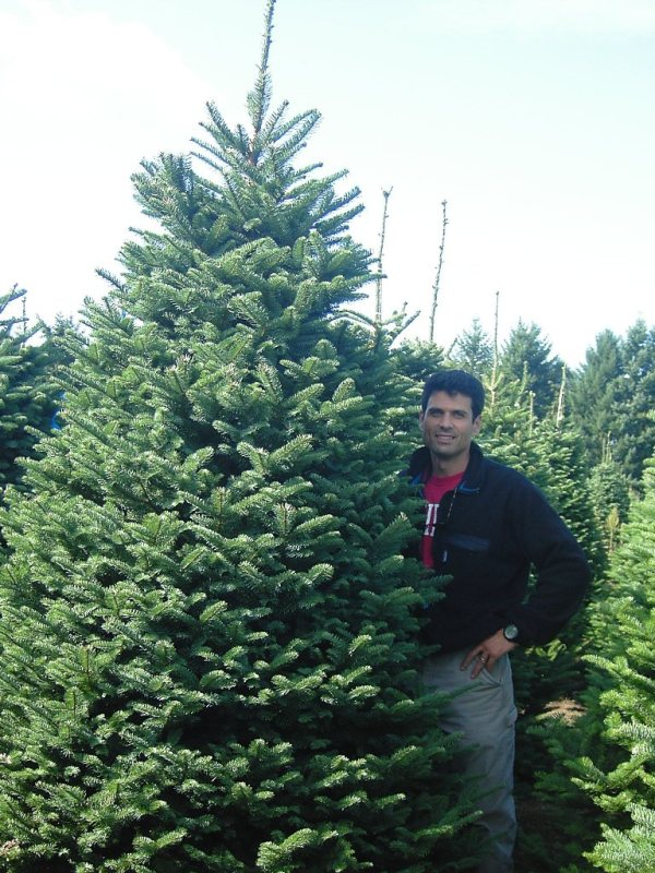 needle cast on concolor fir christmas